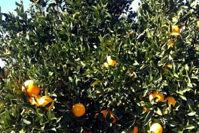 Citrus Ricus